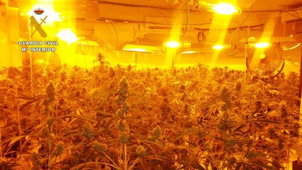 Plantación de marihuana en Seseña