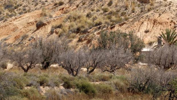 Árboles secos por falta de agua en la Vega Baja alicantina