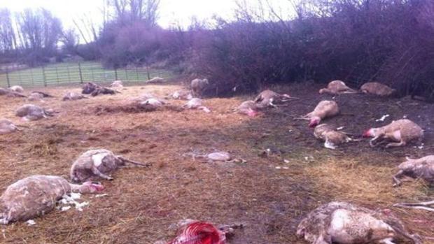 Los ataques de lobos causan grandes destrozos en las explotaciones ganaderas