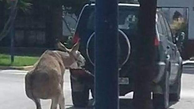 Denuncian a un vecino de Chipiona acusado de arrastrar a un burro atado a su todoterreno