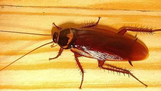 Una cucaracha Loboptera