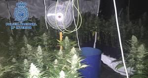 Descubren 1.200 plantas de marihuana en un piso cuyo dueño llevaba cinco años sin pagar la electricidad