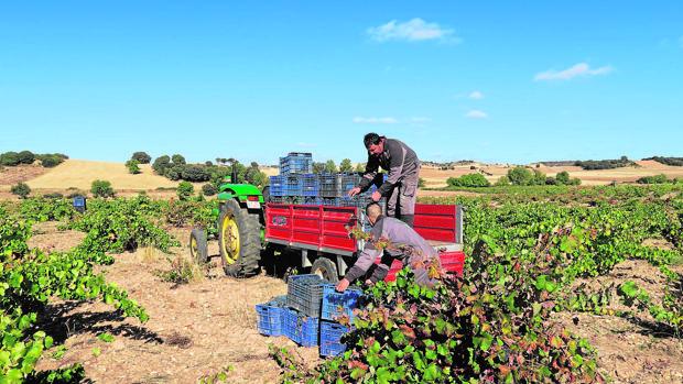 Vendimia en la Denominación de Origen Tierra de Zamora, donde la producción ha crecido un 30%