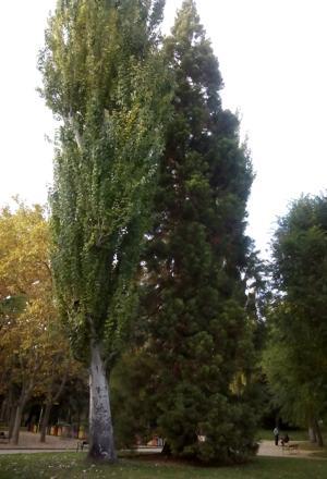 Sequoia en el parque de Los Moralejos de Cuenca
