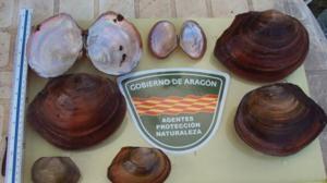 Alerta medioambiental en el Ebro por una nueva especie invasora: la almeja china