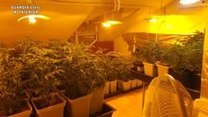 Detenido por el cultivo de 836 plantas de marihuana en Seseña