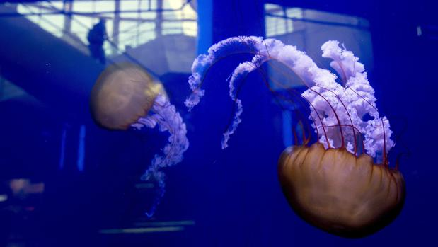 Imagen de unos ejemplares de medusas «Ortiga del Pacífico», visibles en uno de los tanques del Oceanogràfic
