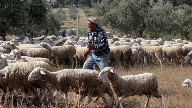 Imagen de un pastor con sus ovejas