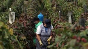 La D.O. vinícola de Valdeorras insiste en ser declarada zona catastrófica