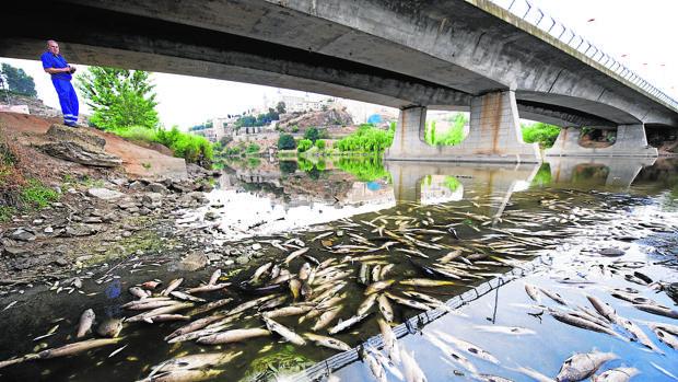 Miles de peces muertos en el Tajo a su paso por Toledo, en una imagen de 2012