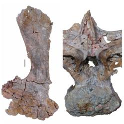 Vértebra y escápula hallados en la excavación