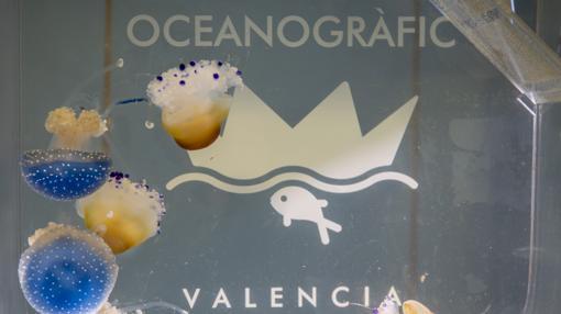 Imagen de unas medusas en el Oceanogràfic de Valencia