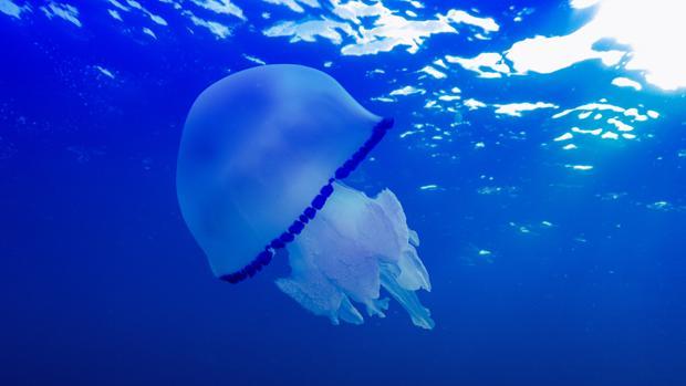 Imagen de una medusa Mediterranean jellyfish