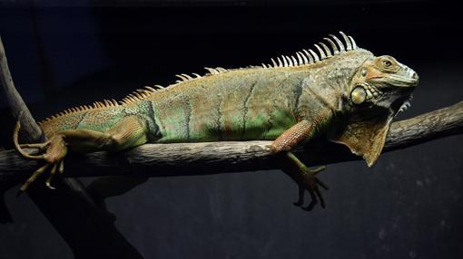 Una iguana, descansando en el Centro de Recuperación