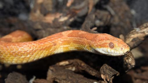 Una serpiente del maíz, en el CRAS