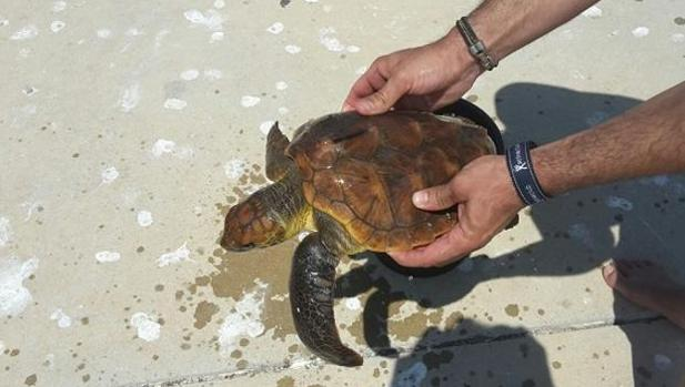 Imagen de la tortuga rescatada