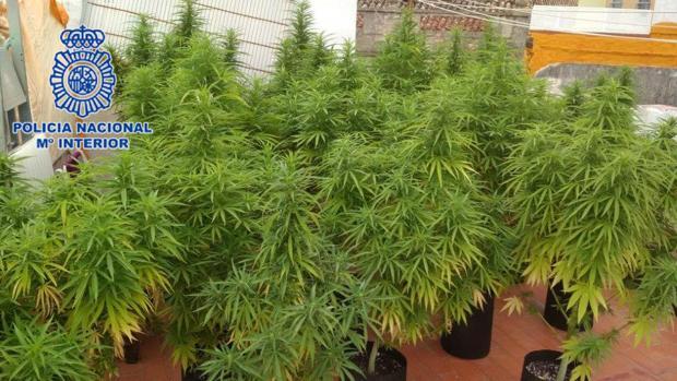 Imagen de las plantas de marihuana