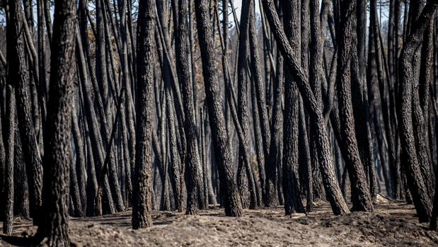 Árboles calcinados en el incendio en Verín de principios de agosto