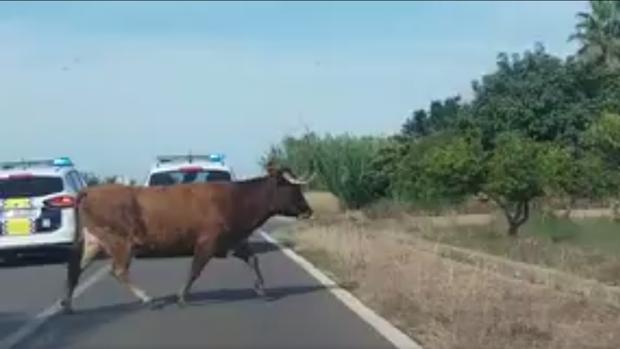 Una de las dos vacas escapadas perseguidas por la Policía Local de Burriana por el campo