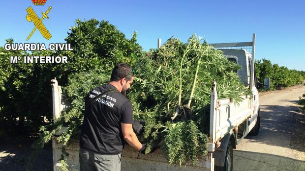 Imagen de las plantas de marihuana intervenidas en Manuel (Valencia)