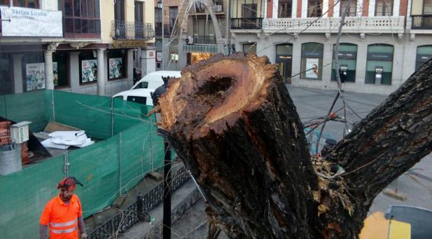 Según el equipo de Gobierno, imágenes como esta confirman el mal estado de los árboles de Zocodover y avalan las indicaciones de los técnicos