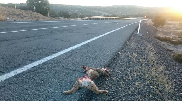 Oficialmente se han documentado 6 atropellos en la carretera CM 410 entre los kilómetros 16 y 18, según IU