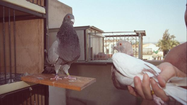 La colombicultura es una actividad deportiva que se basa en la suelta de palomas