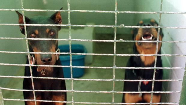 Dos perros de razas pontencialmente peligrosas