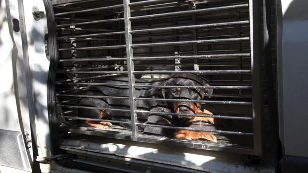 Perro de raza rottweiler enjaulado