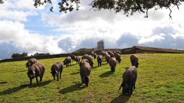 Una macrogranja de cerdos de Castilla-La Mancha