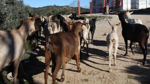 Un rebaño de cabras, en imagen de archivo