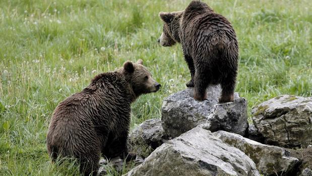 En toda la Cordillera Pirenaica hay 45 osos, aunque solo uno de ellos habita de forma estable en el tramo aragonés