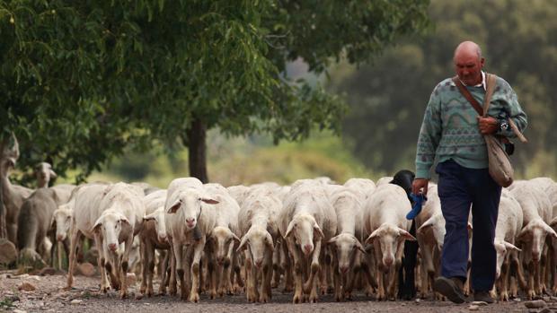 Un pastor conduciendo a su rebaño en un pueblo del Moncayo zaragozano