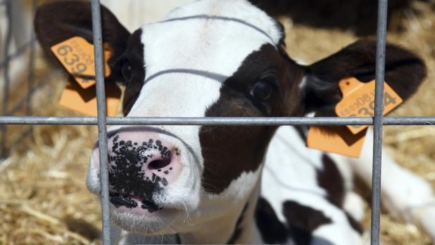 Vacas de leche en la Granja de Pascual en Fuentespina