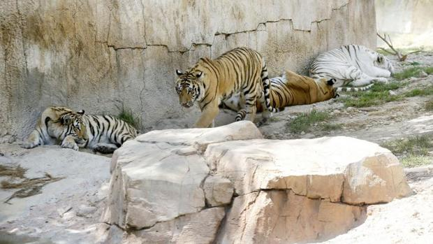 Tigres en el parque Terra Natura