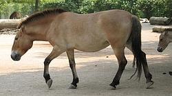 El caballo de Przewalski, única subespecie salvaje de caballo que existe en la actualidad