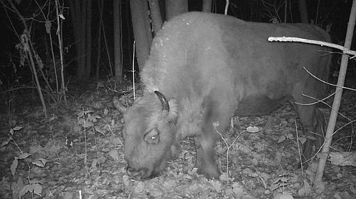 Un bisonte, en la zona de exclusión de Chernóbil