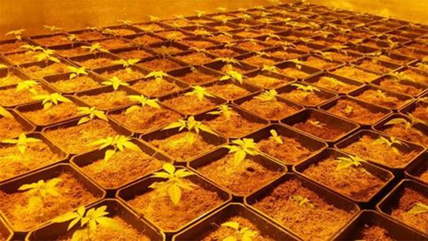 California, Arizona, Massachusetts, Nevada y Maine aprueban consumir marihuana como uso recreativo