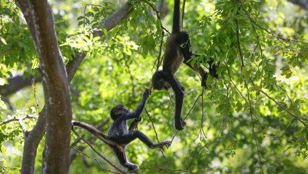 Monos araña de El Salvador