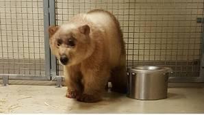 Los osos polares huérfanos solo sobreviven en los zoos