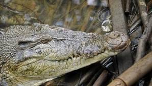 Indonesia quiere sustituir a los funcionarios de prisiones por cocodrilos