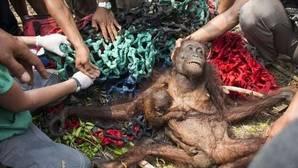 Desgarradora imagen de una orangután desnutrida y golpeada con su cría aferrada al pecho