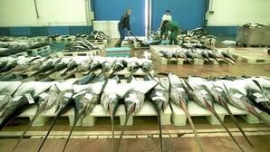 El pez espada podría sufrir una crisis similar a la del atún rojo debido a la sobrepesca