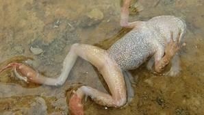 El hongo letal que amenaza a los anfibios, erradicado