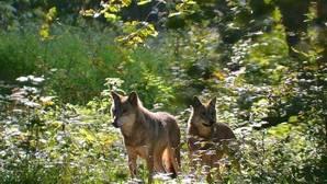 Los lobos regresan a Kampinos 50 años después