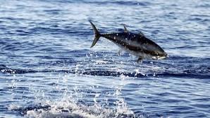 Atún rojo: el descenso de sus poblaciones en los años 60 se debió a la pesca intensiva de juveniles
