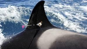 Sea World impugna un fallo que le impide criar orcas