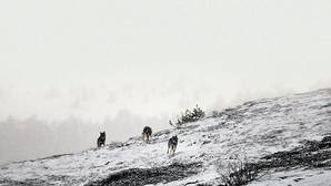 «El lobo precisa de una gestión coherente de la naturaleza; no de protección directa»