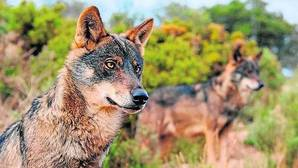 El turismo del lobo es más rentable que su caza