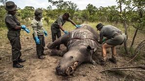 Los cazadores furtivos mataron 1.175 rinocerontes en Sudáfrica en 2015